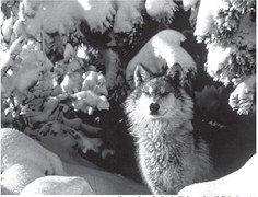 Put wolf management in state's hands