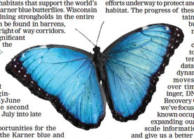 Volunteers sought for blue butterfly survey